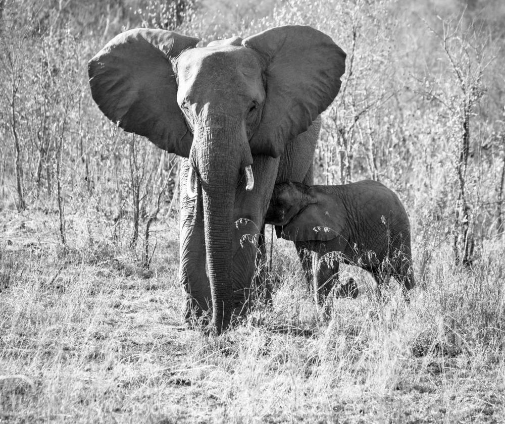 Elephants XXVI
