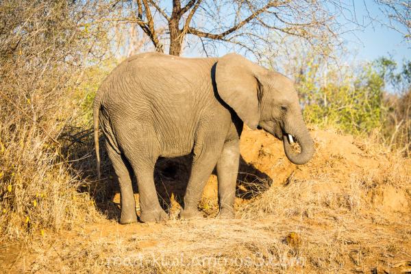 Elephant XXVI