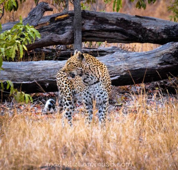 Leopard XIII