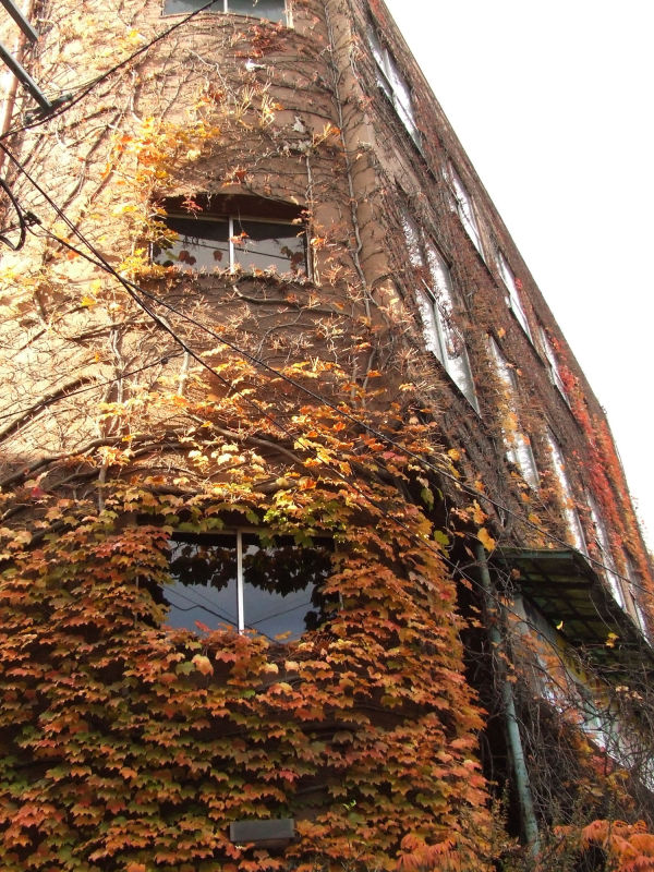 The building covered with the ivy