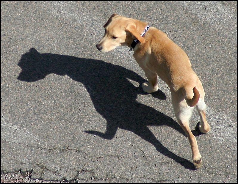 Dog & shadow