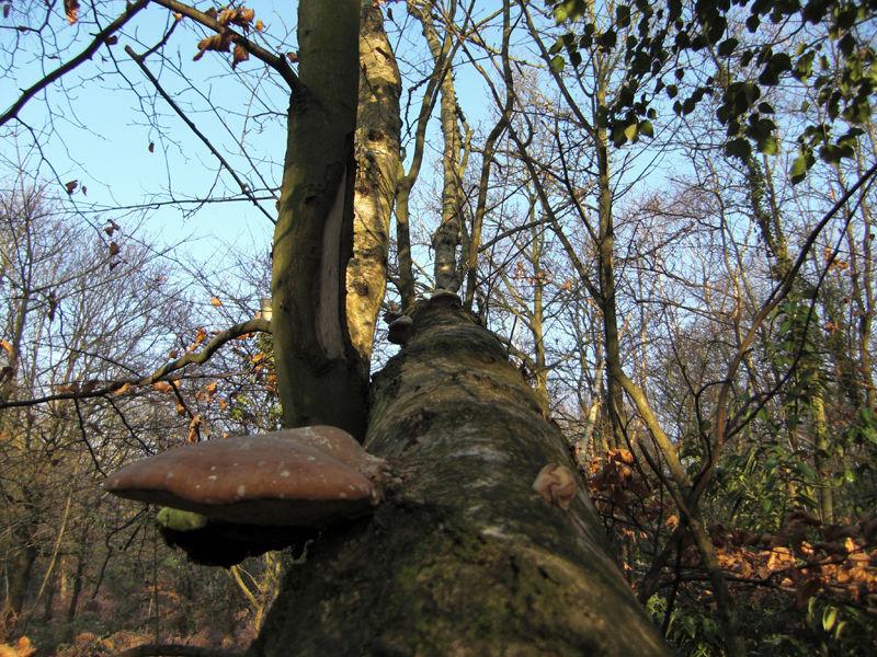 Fungal Tree