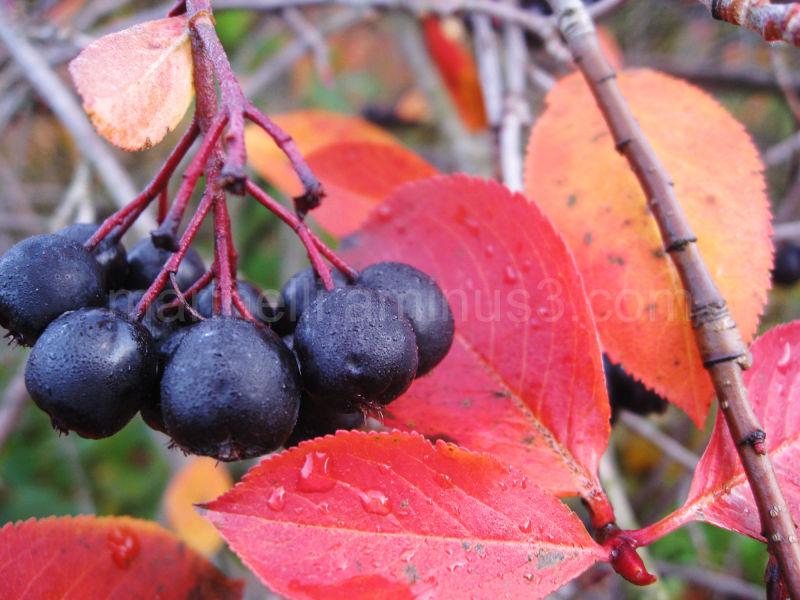 """""""Bird berries"""""""