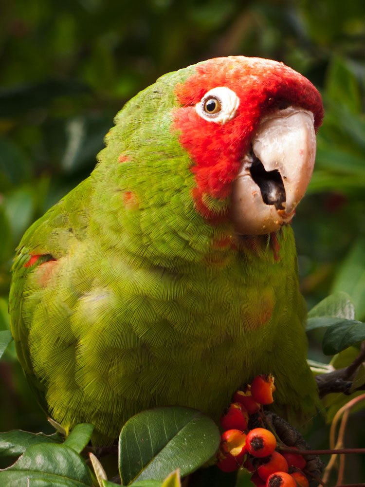 Wild Parrot of San Francisco