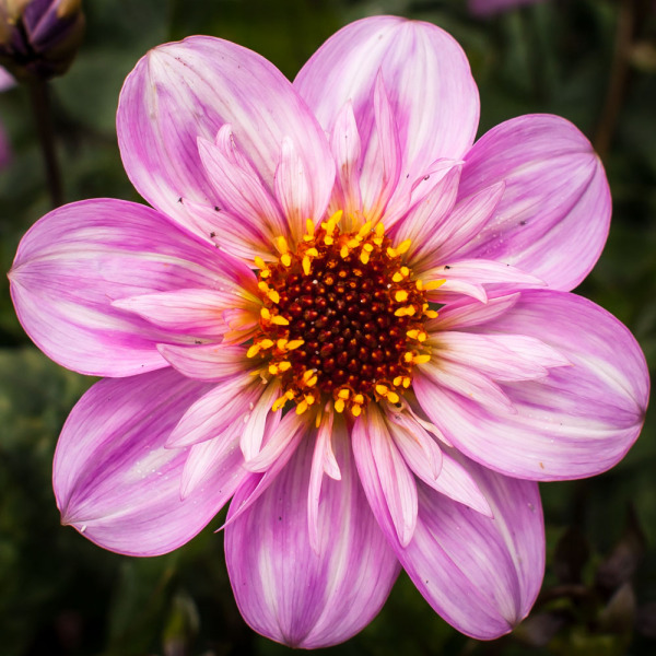 Another Day Another Dahlia