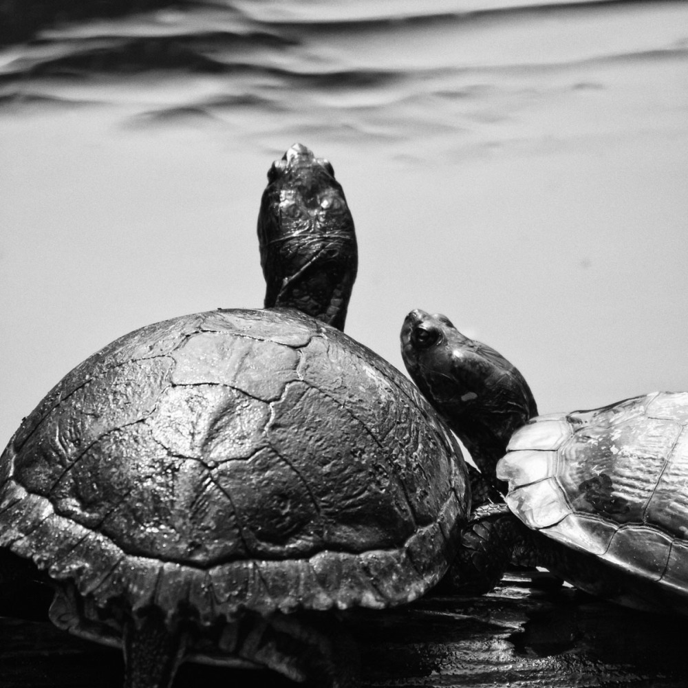 Turtle Togetherness