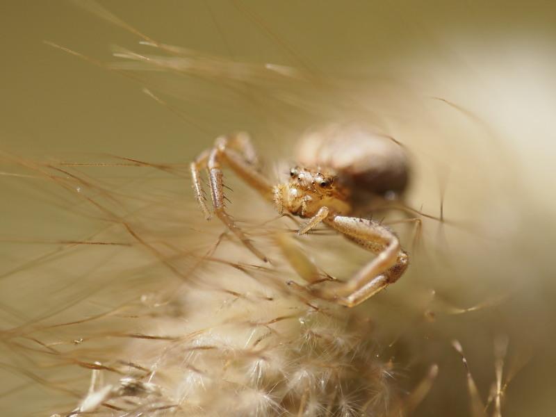 Macro insectos araña Delta