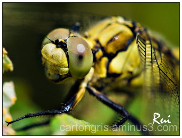 Dragonfly Macro sigma 150