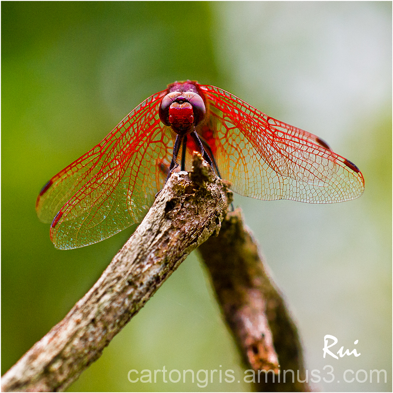 Macro Delta llobregat Dragonfly