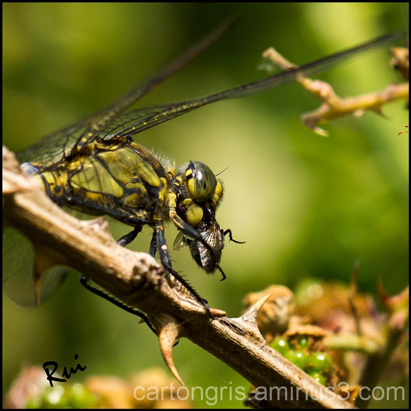 Dragonfly Delta Macro Sigma 150
