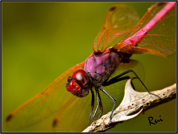 Macro Flash Delta llobregat Dragonfly