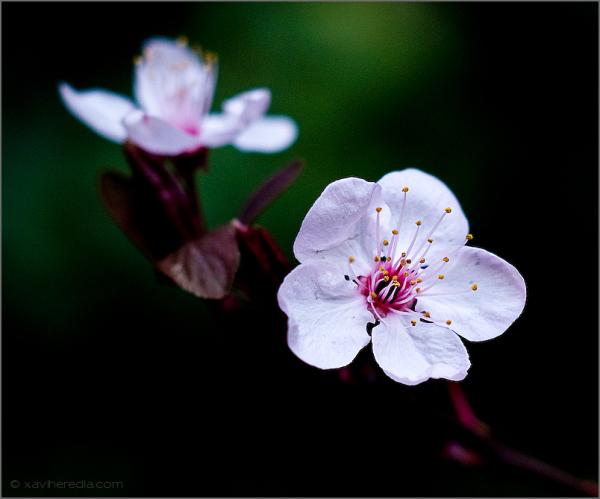 Prunus #2