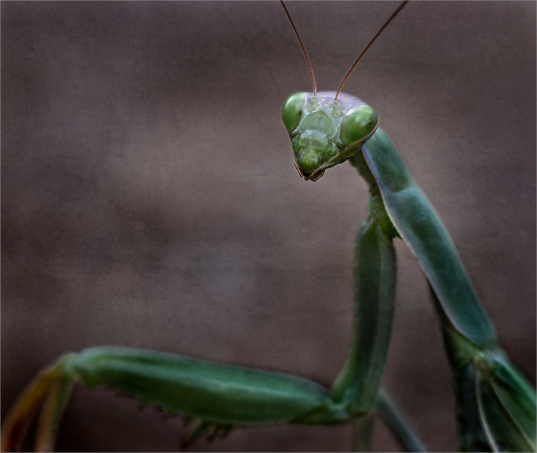 Portrait of a young mantis