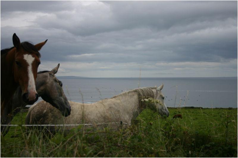 Chevaux des Burren (Irlande-Eire)