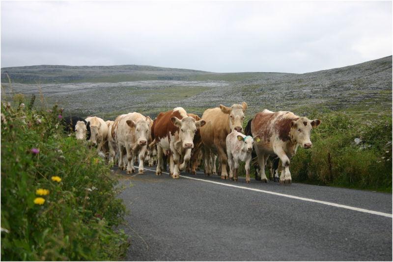 Vaches des Burren
