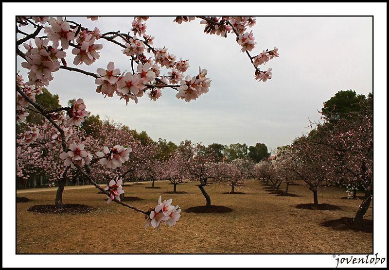 Almendro en flor Madrid