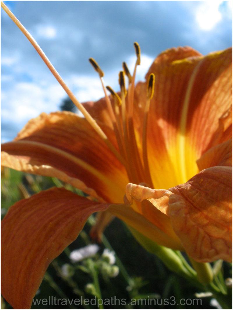 Beautiful Tiger Lily