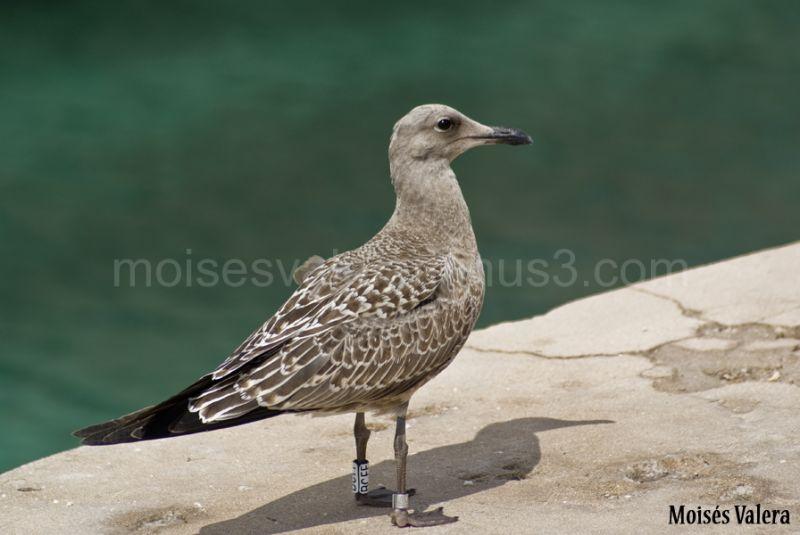 Gull - Gaviota