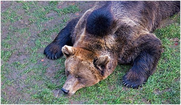 Le repos de l'ours...