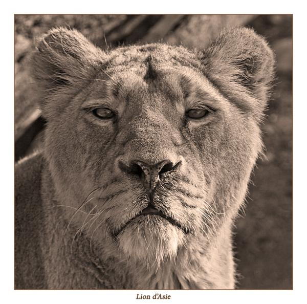 Lionne d'Asie.......