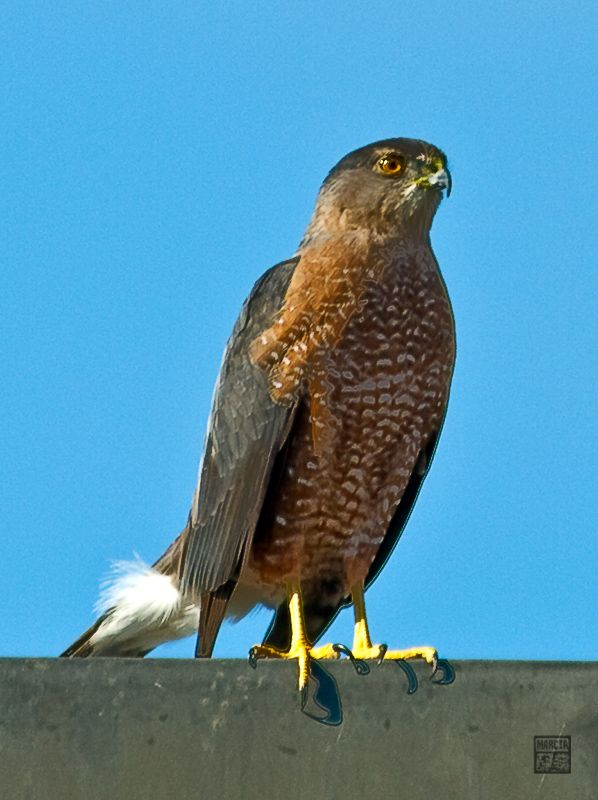 Sharp-shinned Falcon