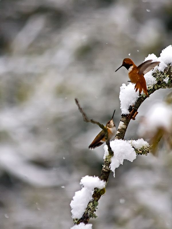 Hummers in the Snow