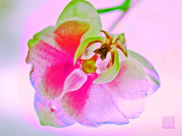 Cross-processed Orchid