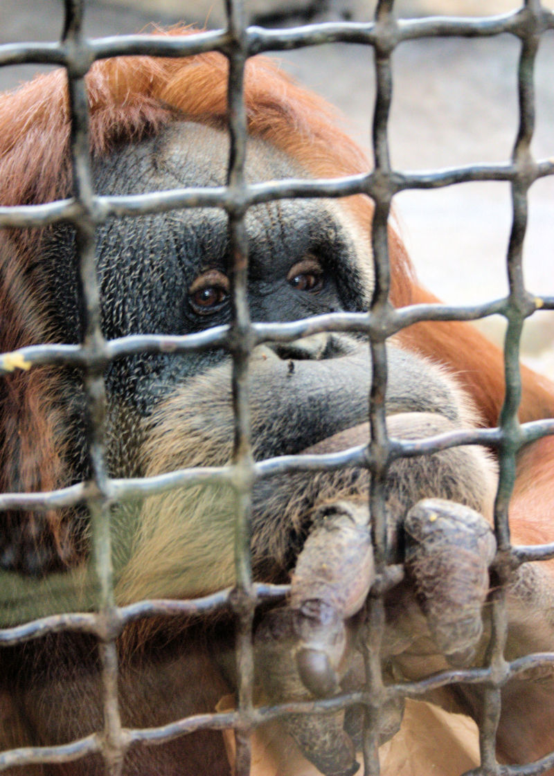 orangutan at sedgwick county zoo