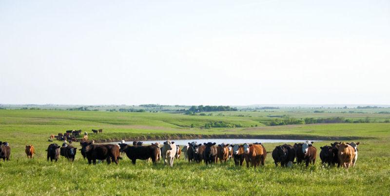 cattle near pond in flint hills
