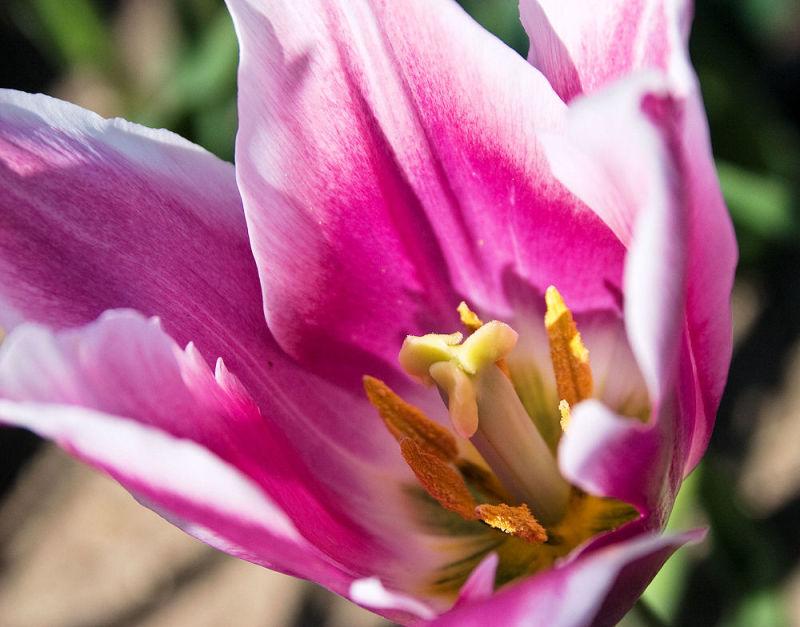 Pink Tulip Intimately