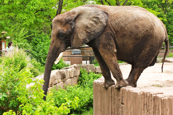 an elephant stands at edge of enclosure