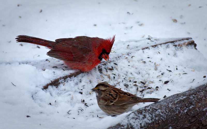 white-throated sparrow and cardinal dine in snow