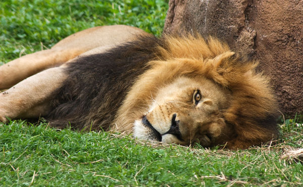 male lion napping