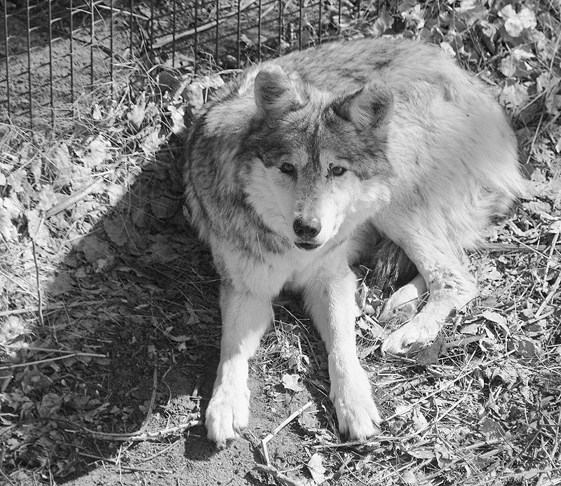 mexican wolf at sedgwick county zoo