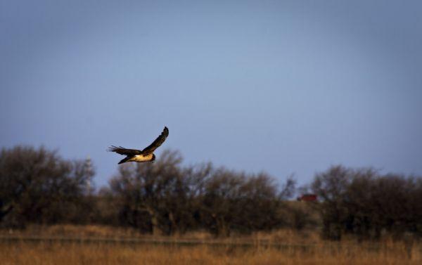 hawk floating over prairie pasture