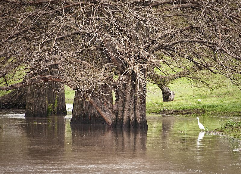 egret fishing in high water