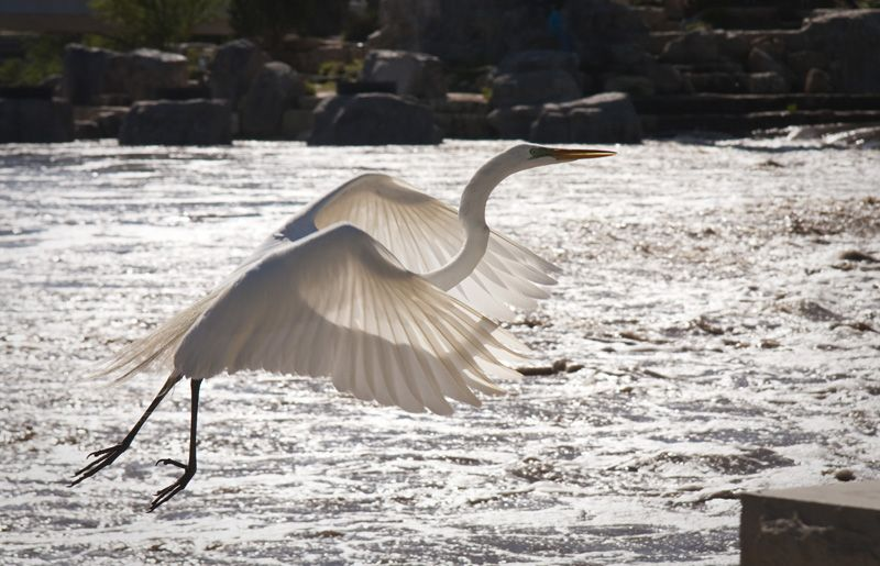 backlit great egret taking flight