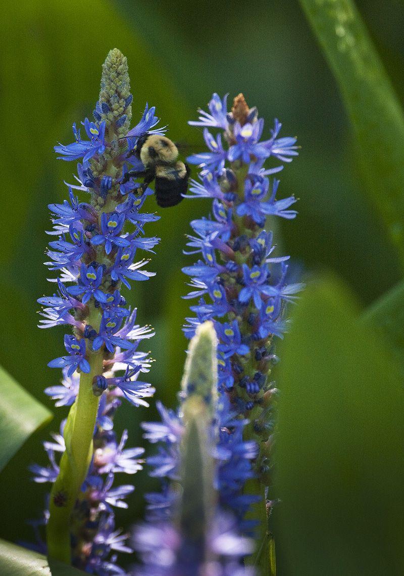 bee feeding on blue flower