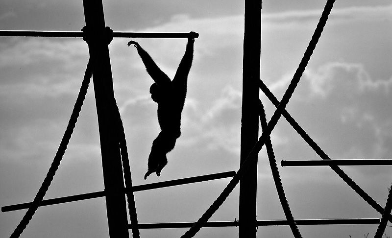 gibbon swinging from bars