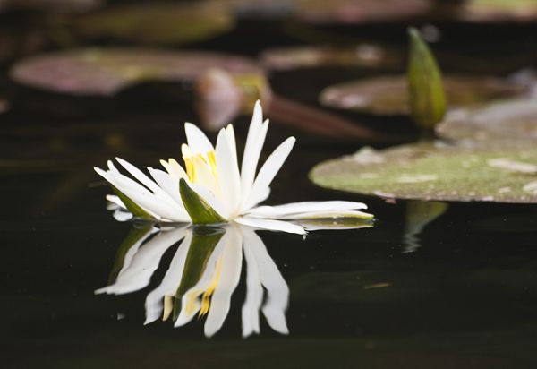 water lily reflecting in the waves
