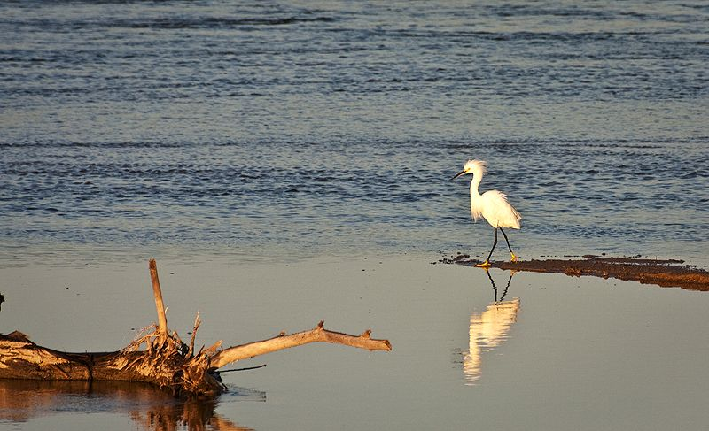 snowy egret on the big ditch at sunup