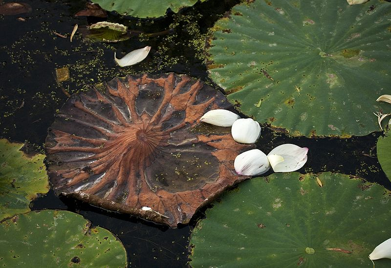 lotus leaves and petals