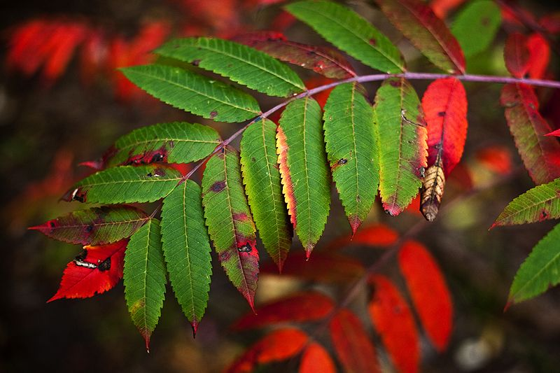 red and green leaves in autumn