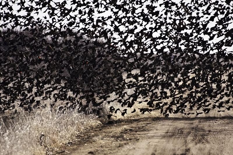 swarming red-winged blackbirds