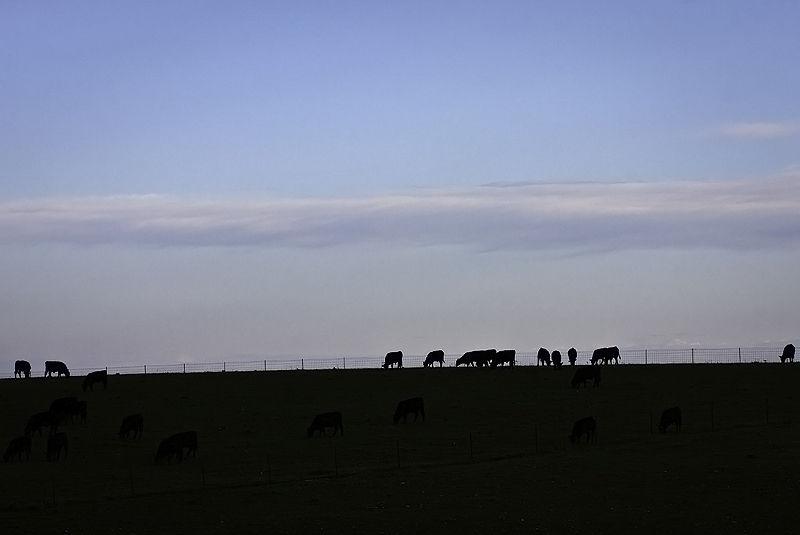 cattle grazing at sunrise