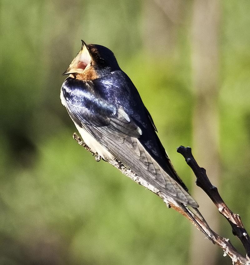 yawning swallow
