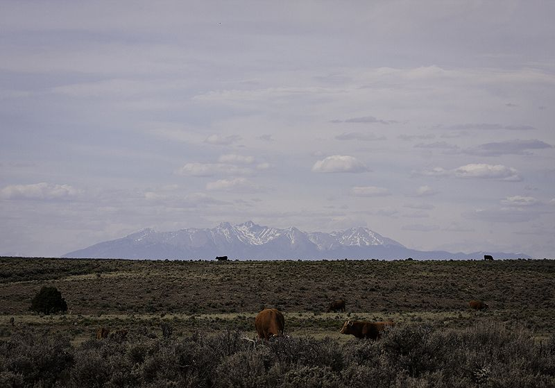 cattle graze in the desert in front of snow capped