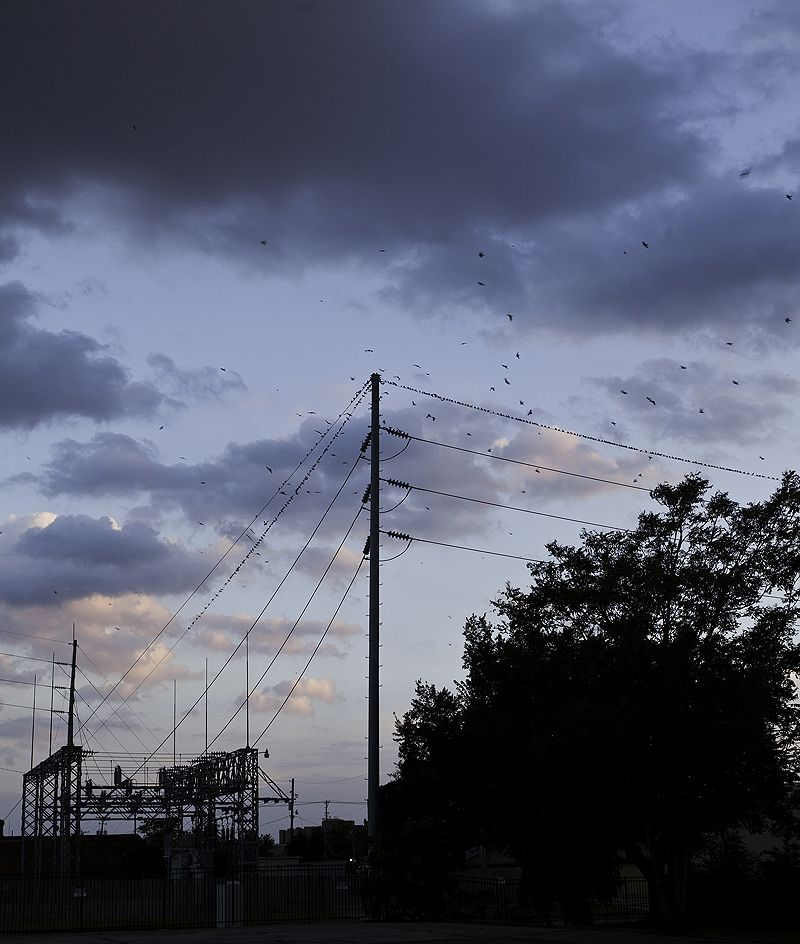 purple martins perch on wires near roost