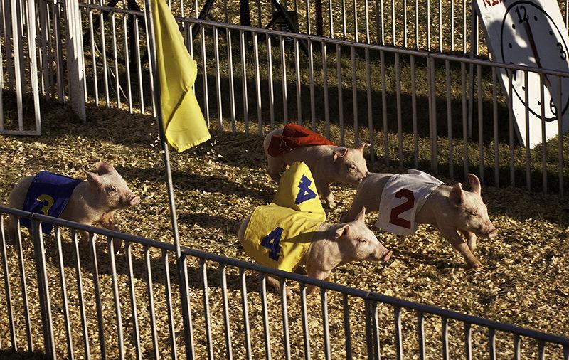 pig race at kansas state fair