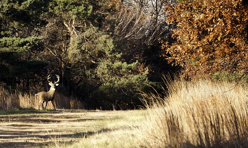 buck in the open in the autumn